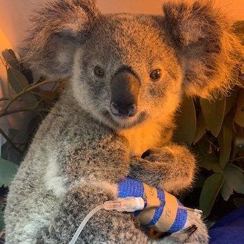 Kleiner Koala, großes WunderKoala-Weibchen Maryanne am Tropf © RSPCA Queensland Wildlife Hospital