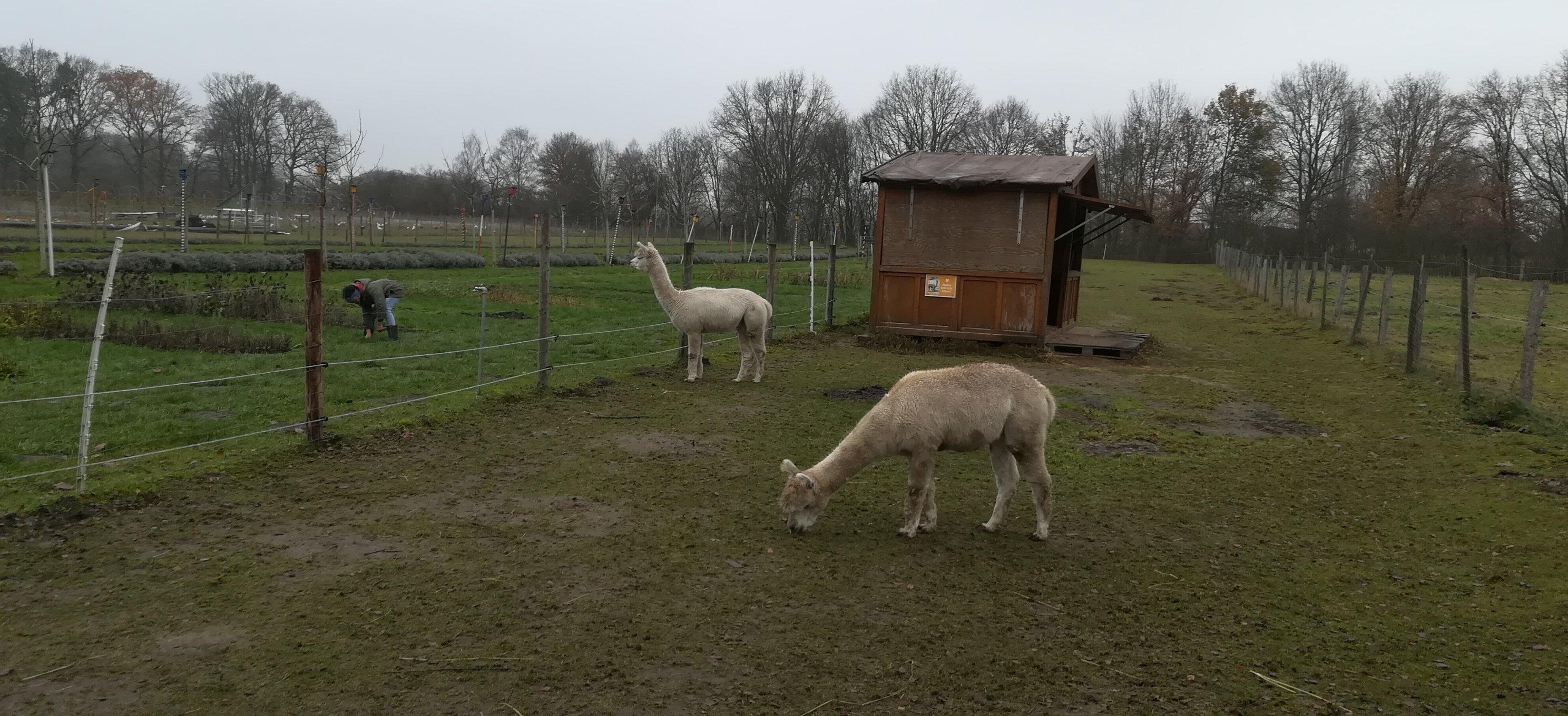 Alpakas auf dem Gut Kinderhaus